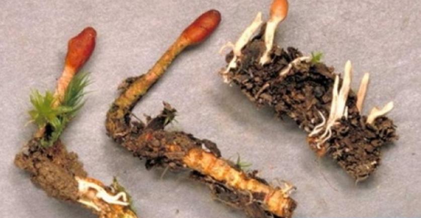 Ciuperca Larva Chinezeasca – Cordyceps Sinensis