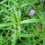Oldenlandia diffusae