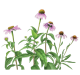 ingredient Echinacea