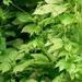Herba Gynostemmatis