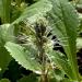 Picrorrhiza kurroa