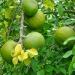 Frunze de Bilva