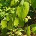 Herba Epimedii